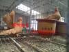 北京丰台出售邮鸽,元宝鸽,毛领鸽等观赏鸽