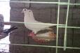 上海出售大量肉鸽,肉鸽蛋,白羽王,公斤鸽等