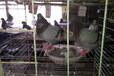 大量出售淘汰肉鸽,老鸽子,种鸽,白羽王等品种。