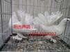 吉林长春出售黄杠马头,蛇头,俄罗斯头型鸽等品种。