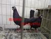 贵州出售特大元宝鸽,凤尾鸽,毛领鸽,芙蓉鸽,等观赏鸽。