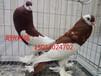 齐齐哈尔出售精品两头乌,两头红,淑女鸽,秀鸽,球胸鸽等。