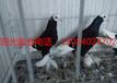 贵阳出售鼓手鸽,毛领鸽,邮鸽,金鱼鸽,元宝鸽等品种.包邮.