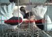 出售纯种元宝鸽,外国原环元宝鸽,淑女鸽,点子鸽等。