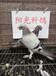 宿州元宝鸽价格,元宝鸽图片,元宝鸽养殖技术