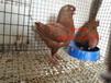 吉林大体元宝鸽价格,元宝鸽养殖场。