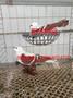 六盘水观赏鸽,尼姑鸽,白鼓手鸽,秀鸽。图片