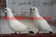 黑龙江观赏鸽,点子鸽,两头乌,毛领鸽。