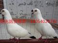 徐汇农家观赏鸽出售,毛领鸽,摩登鸽,蛇头鸽等图片