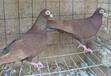 上海徐汇观赏鸽品种,摩登鸽,淑女鸽,芙蓉鸽,跟头鸽