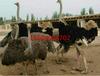 广西南宁鸵鸟苗价格,鸵鸟苗批发出售。