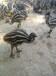 安徽哪里出售鸵鸟苗,成年鸵鸟。