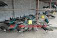 上海浦东孔雀出售,成年孔雀,孔雀苗。