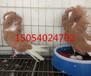 三亚出售跟头鸽,元宝鸽,毛领鸽观赏鸽