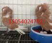 桂林观赏鸽,淑女鸽,芙蓉鸽,凤尾鸽。图片