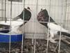 威海哪里出售观赏鸽,元宝鸽,芙蓉鸽,跟头鸽