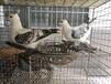 福建跟头鸽,毛领鸽,元宝鸽出售。