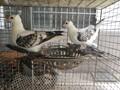 吉林观赏鸽出售,鸳鸯天鹅鸽,元宝鸽。图片