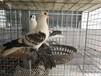 安徽宿州元宝鸽个人养殖场。