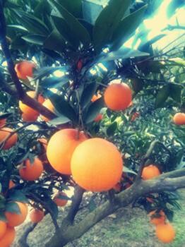 湖北脐橙大量产地销售