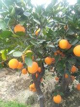 湖北宜昌伦晚橙产地直供