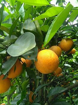 夏橙果园直接收购
