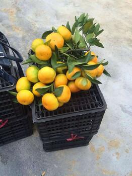 蜜桔产地大量批发