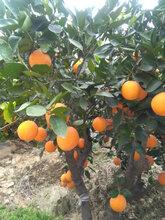 湖北宜昌伦晚橙产地直供图片