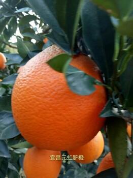 大量批发脐橙,产地直供