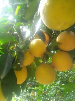 夏橙产地-湖北宜昌
