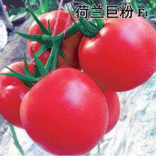 番茄种子荷兰番茄种子荷兰巨粉番茄种子北京中农天腾种业全国总经销图片