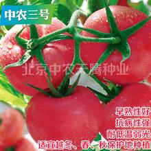 优质番茄种子大粉果番茄种子中农三号番茄种子北京中农天腾种业全国总经销图片