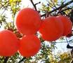 陕西临潼火晶柿子皮薄无核香甜多汁新鲜水果产地直供6斤包邮图片