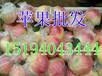 杭州红露苹果经销商货源充足