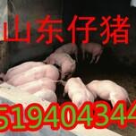 山东仔猪价格,山东仔猪介绍,山东仔猪产地图片