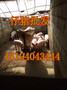 凤阳县仔猪价格生产仔猪图片