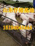 泗县山东仔猪价格服务最好图片