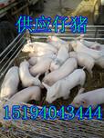当涂县仔猪养殖合作社生产仔猪图片