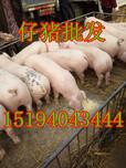 安庆仔猪养殖合作社生产厂家图片