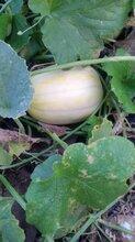 最好的香瓜种子香吉娜图片