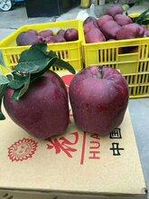 出售正宗甘肃天水花牛苹果苗蛇果苹果树苗图片