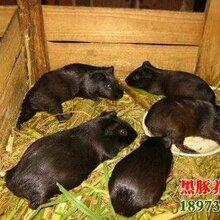 黑豚价格,湖南荷兰猪养殖场