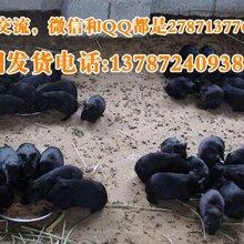 配种黑豚养殖技术母黑豚价格