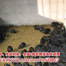 一只黑豚能卖多少钱农村家庭圈养散养的种苗价格