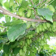 第三代水果之王,绿皮软枣猕猴桃的各项价值图片