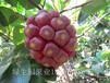 致富果黑老虎(布福娜)果苗供应