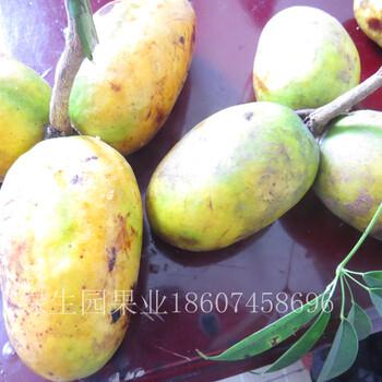 珍稀特果九月瓜黄金蕉种苗