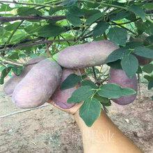 致富新项目种植特色水果八月瓜