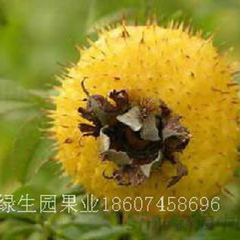 无核刺梨种植效益分析