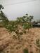 山楂樹供應山楂造型樹大金星山楂樹5-35公分山楂樹